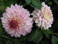 Dahlia decorative